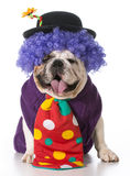 Silly dog. Wearing clown costume on white background Stock Image
