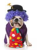 Silly dog. Wearing clown costume on white background - english bulldog Stock Photos