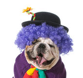 Silly dog. Wearing clown costume on white background - english bulldog Royalty Free Stock Photos