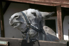Silly donkey Stock Photography