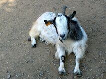 Silly dwarf goat Stock Photos