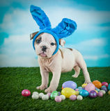 Silly Easter Bulldog Puppy Royalty Free Stock Photos