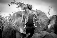 Silly Elephant. A young elephant playing with his food Royalty Free Stock Images