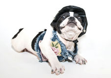 Silly Frenchie Royalty Free Stock Image