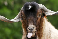 Silly Goat. Canary Island long-horned goat pulling a silly face Royalty Free Stock Image