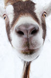 Silly Goat Stock Photos