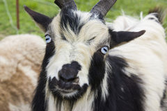 Silly Goat Royalty Free Stock Photography