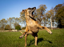 Silly Great Dane with mouth open Royalty Free Stock Images