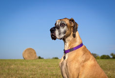 Silly Great Dane sitting in field with hay bale Royalty Free Stock Photo
