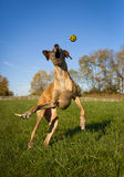 Silly great Dane trying to catch yellow ball, vertical. Silly great Dane leaping up, mouth wide open, trying to catch yellow ball, eyes closed Royalty Free Stock Photography