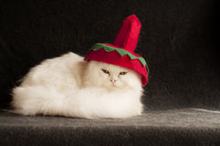 Silly hat. White Persian kitten wearint a sombrero stock photography