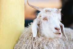 Silly, horned sheep - Argentina Royalty Free Stock Image