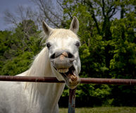 Silly horse looking at viewer Stock Image