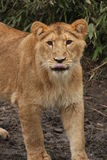 Silly lion Royalty Free Stock Images