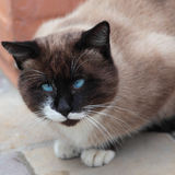 Silly looking cross-eyed cat. Close up of silly looking cross-eyed cat Royalty Free Stock Photo
