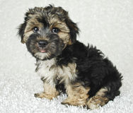 Silly Morkie Puppy Royalty Free Stock Images