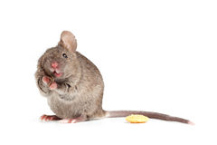 Silly mouse isolted on white Stock Images