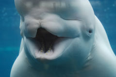 Silly Mouth of a Beluga Whale Wide Open Underwater. Silly beluga whale with his mouth open underwater royalty free stock images