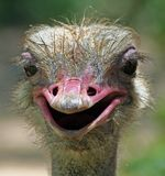 Silly Ostrich. Close-up portrait of a silly-looking ostrich Stock Photo