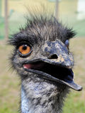 Silly ostrich. Old silly ostrich looking in a camera Royalty Free Stock Photo