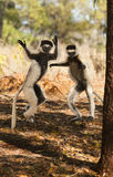 Silly Playful Dancing Sifaka Lemurs. Dancing Sifaka lemurs at Berenty Preserve, Madagascar Stock Photography