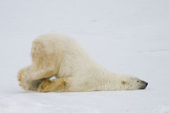 Silly polar bear. A silly polar bear pushes across the snow on his belly Stock Image