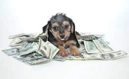 Silly Rich Morkie Puppy Royalty Free Stock Photo
