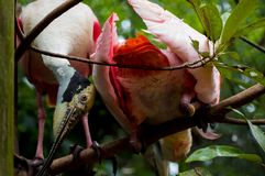 Silly Roseate Spoonbill pair royalty free stock photos