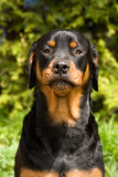 Silly Rottweiler. Black and brown Rottweiler dog with silly expression Royalty Free Stock Photography