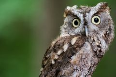 Silly screech owl. A closeup of a screech owl with a funny expression Stock Photos