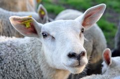 Silly Sheep Royalty Free Stock Photo