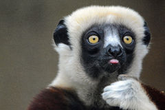 Silly Sifaka Royalty Free Stock Images