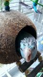 Silly Spiky Coconut Turtle  Bird. Silly wet spiky haired blue parrotlet with coconut house  tropical pets birds exotic Stock Image