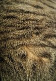 Silly Tabby's Fur Royalty Free Stock Photos
