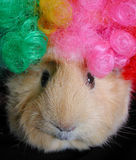 Silly Wig. Guinea pig wearing a silly clown wig Stock Photography