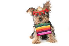 Silly Yorkie Celebrating Cinco De Mayo Holiday royalty free stock images