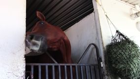 Silly young thoroughbred race horse in barn stall stock footage