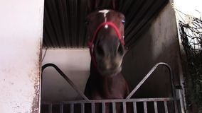 Silly young thoroughbred race horse in barn stall stock video footage