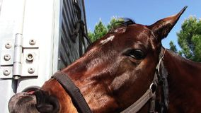 Silly young thoroughbred race horse smiles stock footage