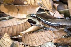 Silna jaszczurka Madagascar girdled jaszczurki, Zonosaurus madagascariensis, Nosaty Mangabe, Madagascar Zdjęcia Royalty Free