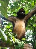 Silna małpa w Ekwador Zdjęcia Stock