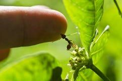 silna mrówki czerwień Zdjęcie Royalty Free