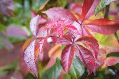 Silni czerwoni colours w jesieni Fotografia Stock