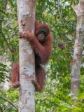 Silni czerwoni orangutan zerknięcia out od wielkiego x28 & drzewa za; Kumai Zdjęcie Royalty Free