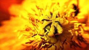 Silni kolory na wibrującym czerwieni i koloru żółtego wildflower obraz royalty free