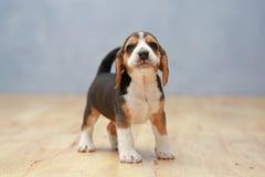 Silny żeński beagle szczeniak w akci zdjęcie stock