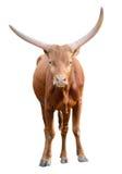 Silny czerwony brown byka wół odizolowywający Obrazy Royalty Free