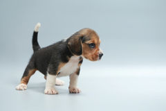silny czysty trakenu beagle szczeniak Zdjęcie Stock