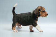 silny czysty trakenu beagle szczeniak Obrazy Royalty Free