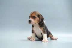 silny czysty trakenu beagle szczeniak Obraz Stock